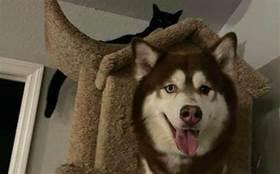 狗狗和貓生活久了,連行為動作都變一樣了,睡貓窩的模樣太像了吧
