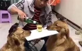 男主讓二隻狗狗當桌子喝酒,被女主發現酒杯都摔破了!