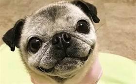 「逆生長」的巴哥火了,網友驚了:這是狗版返老還童?